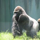 gorilla by mgray