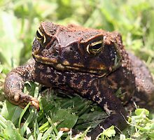 Bufo Marinus - Cane Toad by Forto