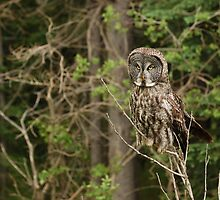 Great Grey Owl by Ron Kube