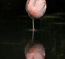 Greater Flamingo • Adelaide • South Australia  by William Bullimore