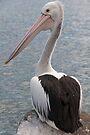 Pelican 1 by Werner Padarin
