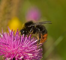 Red-shanked carder Bee  by Jon Lees