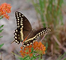 Swallowtail Butterfly by rd Erickson