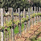 Vineyards - Pokolbin NSW Australia by Bev Woodman