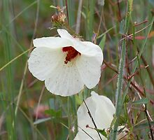 Marsh Mallow, Rose Mallow by rd Erickson