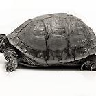 Turtle Profile by Kristen Coleman