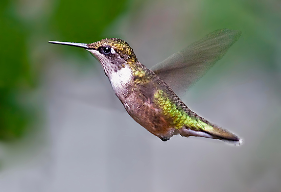 humming bird by marianne troia