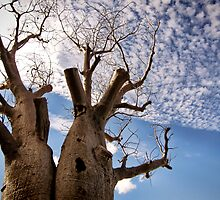 BOAB TREE | KINGS PARK, PERTH  by webgrrl