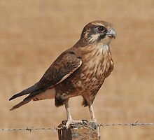 Brown Falcon by beeater