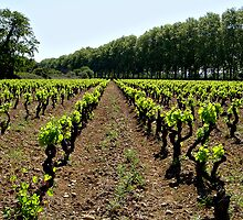 Argen Minervois vineyard by triciamary