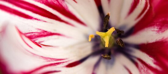 White and pink tulip - panoramic crop by Astrid Authier