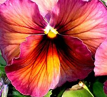 Dark Colored Pansy by plunder