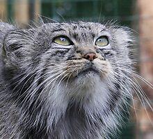Pallas Cat by SmileyShazza