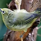 Japanese White-Eye Perched by Wolf Read
