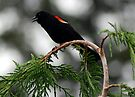 Red Winged Blackbird by Tori Snow