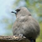 Juvenile Black-faced Woodswallow by SusanAdey