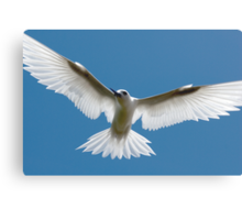 Open Wings of a Tern - Cocos (Keeling) Islands Canvas Print