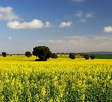 Canola at Griffith by Darren Stones
