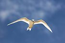 Flight of the White Tern - Cocos (Keeling) Islands by Karen Willshaw