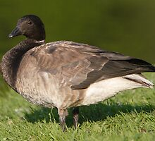A Brant Goose 2 by DigitallyStill