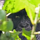 Peek-a-boo gorilla by ChrisCoombes