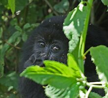 Mountain Gorilla Eye Contact by ChrisCoombes