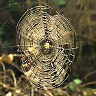 Spiderweb in Sunshine by Dawn OConnor