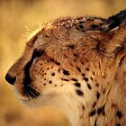Profile of a cheetah by Richard Shakenovsky