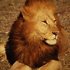 Regal male lion by Richard Shakenovsky