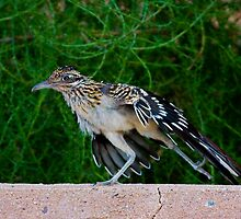Roadrunner by Marvin Collins