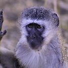 HEY STOP !!! - Vervet Monkey, (CERCOPITHECUS PYGERYTHRUS) by Magaret Meintjes