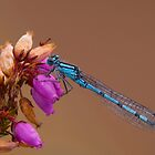 Female Common Blue Damselfly by Neil Bygrave (NATURELENS)