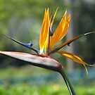 Bird of Paradise by Robert Jenner