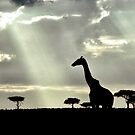 Giraffe Silhouette by Michael  Moss
