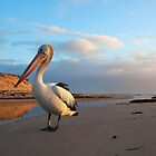 Posing Pelican at Sunset by Dale Allman