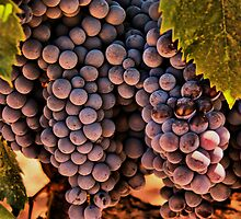 Vinyard Still Life by Barbara  Brown