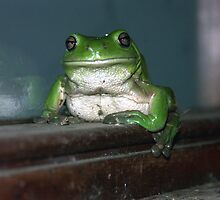 Green Tree Frog, near Mullumbimby NSW by Fossdos