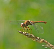 Dragonfly by Chuck Zacharias
