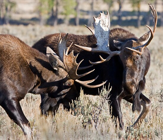 Moose Bulls Sparring by A.M. Ruttle