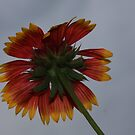 Indian Paintbrush by declown