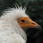 Egyptian Vulture  by Gili Orr