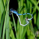 Azure Damselflies in Bug Love by plunder