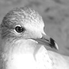 Ring-Billed Gull Portrait by sternbergimages