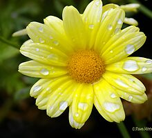 Flowers - Yellow Daisy with Beads of Water by Pam Moore