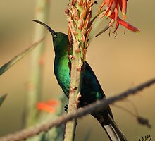Sunbird in the Aloes by Ted Widen