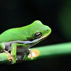American Tree Frog #3 (Calendar) by Dennis Stewart