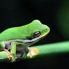 American Tree Frog #3 (Calendar) by Dennis Stewart