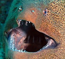 Giant Moray by cooperscuba