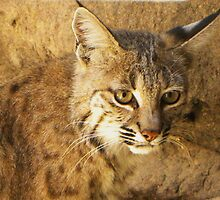 Bobcat by gcampbell