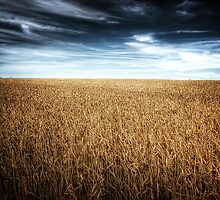Alberta Wheat Field by Myron Watamaniuk